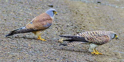 Lesser Kestrel (Falco naumanni) couple (12819743614)