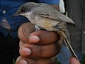 Lesser Whitethroat (4820472317).jpg