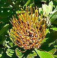 Leucospermum attenuatum 1.jpg