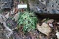 Lewisia columbiana 'Rosea' - Dunsmuir Botanical Gardens - DSC02924.JPG