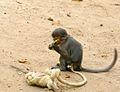 Liberian Monkey - panoramio.jpg
