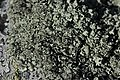 Lichen (22798605705).jpg