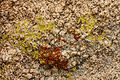 Lichens in Joshua Tree National Park.jpg