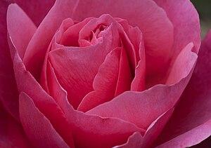 Rosa 'Line Renaud' - Close-up of flower