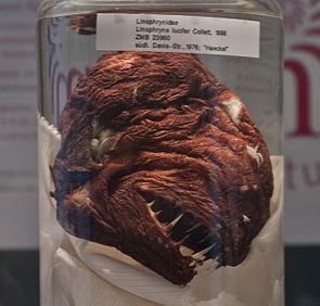Weiblicher Linophryne lucifer aus der Sammlung des Naturkundemuseum Berlin.