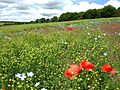 Linseed field near Castle Bytham, poppies.jpg