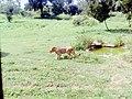 Lioness drinking water.jpg
