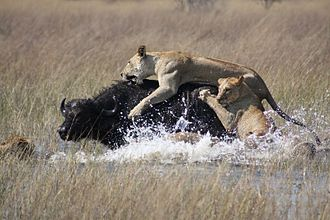Pack hunter - Lions working together to take down a large Cape buffalo.