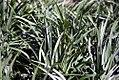 Liriope muscari Big Blue 4zz.jpg