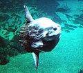 Lisbon, Oceanarium, Ocean sunfish,jpg.jpg
