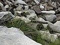 Little ricegrass, Stipa divaricata (39907803252).jpg
