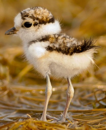 Little ringed plover-chick-cropped.jpeg