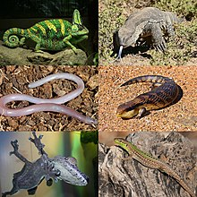 Clockwise from top left: veiled chameleon (Chamaeleo calyptratus), rock monitor (Varanus albigularis), common blue-tongued skink (Tiliqua scincoides), Italian wall lizard (Podarcis sicula), giant leaf-tailed gecko (Uroplatus fimbriatus), and legless lizard (Anelytropsis papillosus)