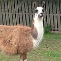 Llama at Lamont farm.jpeg