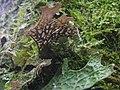 Lobaria macaronesica C. Cornejo & Scheid 407124.jpg