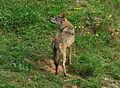 Lobo ibérico (Canis lupus signatus).jpg