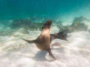 Galápagos sea lion - Capture underwater of a Galapagos sea lion in the coast of San Cristóbal.