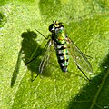 Long-legged Fly (Family Dolichopodidae) (6819913629).jpg