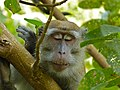 Long-tailed Macaque (Macaca fascicularis) (8217710908).jpg