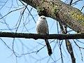 Long-tailed tit Aegithalos caudatus (26146475946).jpg