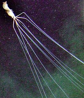 Bigfin squid Genus (Magnapinna) of Cephalopoda