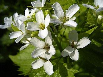 Brassicales - Alliaria petiolata, garlic mustard (Brassicaceae)
