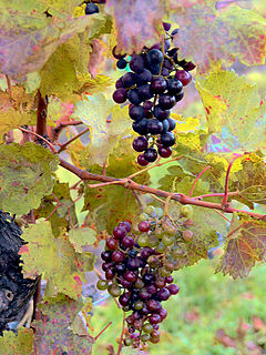 Loose cluster Austrian grapes partial veraison in Oct.jpg