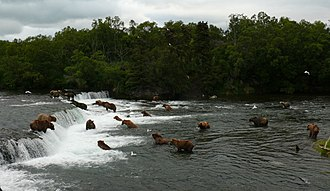 Brown bear - Group of brown bears at Brooks Falls