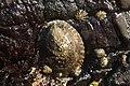 Lottia gigantea 2.jpg