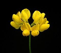 240px lotus pedunculatus6 ies