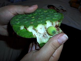 Lotus seed - Eating fresh lotus seeds from a lotus (Nelumbo) seed head