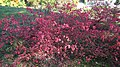 Lublin-UMCS-Botanical-Garden-Euonymus-alatus-181012-02.jpg