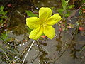 Ludwigia grandiflora subsp. grandiflora.JPG