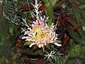 Lumio Carpobrotus edulis rose.jpg