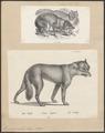 Lupus orientalis - 1700-1880 - Print - Iconographia Zoologica - Special Collections University of Amsterdam - UBA01 IZ22200351.tif