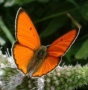 Description de l'image Lycaena dispar02.jpg.
