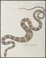 Lycodon petolarius - 1734-1765 - Print - Iconographia Zoologica - Special Collections University of Amsterdam - UBA01 IZ11900143.tif