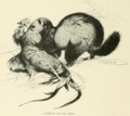 Lydekker polecat and prey.png