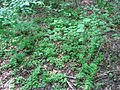 Lygodium palmatum creeping.JPG