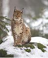 Lynx lynx 2 (Martin Mecnarowski).jpg