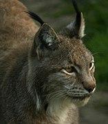Lynx lynx head Białowieża p.jpg