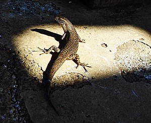 Lizard, seen from above and behind, with its head bent to the left, sitting in a sunny spot surrounded by shadow, with the tail extending into the shadow. The upperparts are black and yellow.