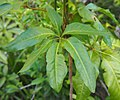 Mackinlaya macrosciadea leaf.jpg