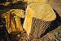 Maclura trunk.jpg