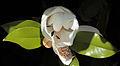 Magnolia grandiflora 3954.jpg