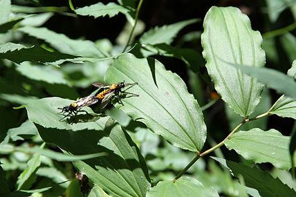 Maianthemum racemosum SCA-4354.jpg