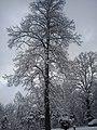 Majestat drzewa - panoramio.jpg