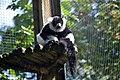 Maki vari noir et blanc (Zoo-Amiens).JPG
