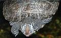 Malaclemys terrapin (diamondback terrapin) 2 (15101239604).jpg