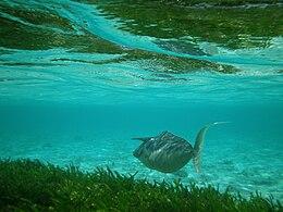 Maldives Humpback unicornfish, Naso brachycentron